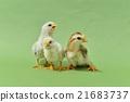 bird, birds, fowls 21683737