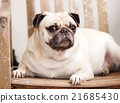 lovely cute pug dog resting laying outdoor  21685430