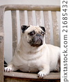lovely cute pug dog resting laying outdoor  21685432