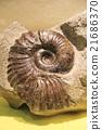 菊石的化石 21686370
