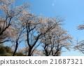 ต้นเชอร์รี่ภูเขาในไทปิง 21687321