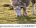 sheep in the meadow 21688967