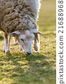 sheep in the meadow 21688968