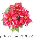 Poinsettia Christmas Star 21690855