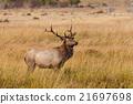 animal, bull, elk 21697698