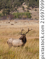 animal, bull, elk 21697699