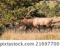 animal, bull, elk 21697700
