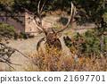 animal, bull, elk 21697701