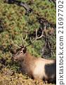 animal, bull, elk 21697702