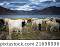 group of Pashmina goat at Pangong Tso Lake 21698996