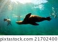 Sea lions swimming around snorkelers underwater  21702400