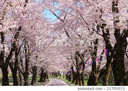 아카기 남쪽 천개 벚꽃 (일본 벚꽃 명소 100 선) 21705013