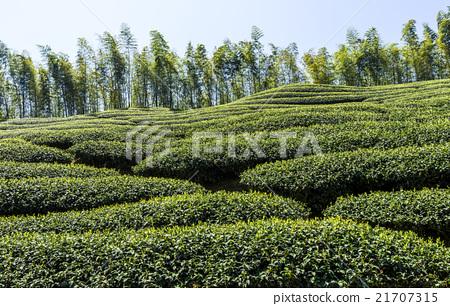 綠色的茶園 21707315