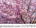 樱花树 樱桃树 花朵 21707859