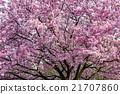 樱花 樱桃树 花朵 21707860