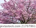 樱花 樱桃树 花朵 21707861