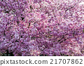 樱花 樱桃树 花朵 21707862