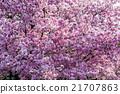 樱花 樱桃树 亚洲人 21707863