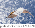flying northern gannet, Helgoland Germany 21711878