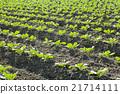新鲜 自然 青菜 21714111