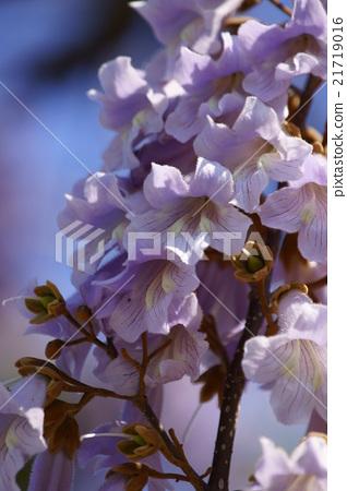 """오동 나무의 꽃 꽃말은 """"고상한"""" 21719016"""