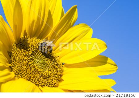 在太陽花上採蜜的蜜蜂 21719156