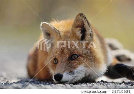 ezo red fox fox waking up stock photo 21719681 pixta
