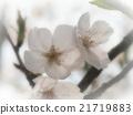 樱花 樱桃树 樱花盛开 21719883