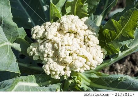 Cauliflower vegetable garden 21720117