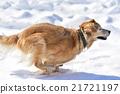 金毛獵犬 冬 雪 21721197