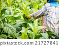 Put Insecticide and fertilizer in tobacco plant 21727841