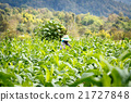 Put Insecticide and fertilizer in tobacco plant 21727848