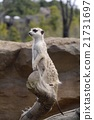 Watch out for Meerkat 21731697