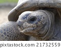 Giant tortoise face up 21732559