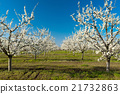 Rows of  blossoming cherry trees on a green lawn 21732863