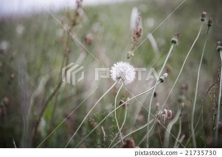 Dandelion 21735730