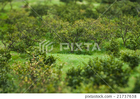 Fresh green, oranges tree background 21737638