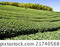 茶园 茶 茶叶 21740568