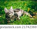 Playful Cute Tabby Gray Cat Kitten Pussycat 21742360