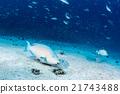 parrot fish portrait in maldives 21743488