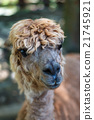 駱駝 臉部 臉 21745921