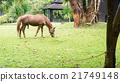 horse grazing 21749148