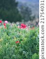 Red Poppy 21754031