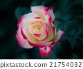 rose 21754032