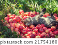 Little kitten lying on the back on red apples 21754160