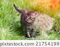 Little kitten with big dandelion with seeds 21754199