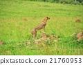 獵豹 野生生物 野生動物 21760953