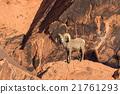 Desert Bighorn Sheep Ram 21761293