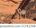 Desert Bighorn Sheep Ram 21761296