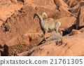 Desert Bighorn Sheep Ram 21761305